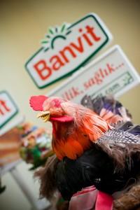 Banvit, tavuklar ve detayları